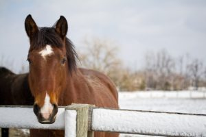 Thoroughbred horse at fence in winter